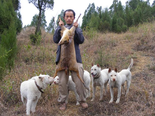 猎犬打猎视频现场